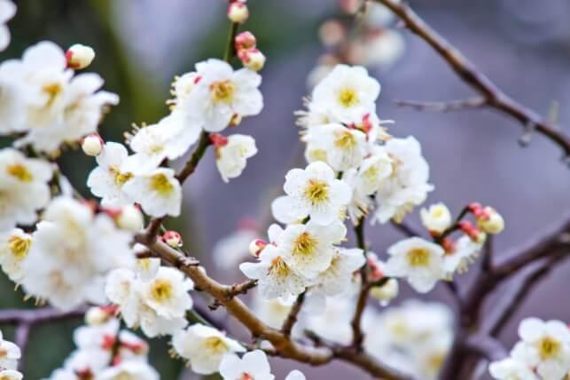 万葉集 梅の花の歌32首 序文 全文 意味 わかりやすく解説
